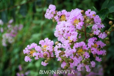 0889-muskogee-crape-myrtle-close-up