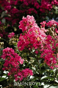 5635-tonto-crape-myrtle-close-up